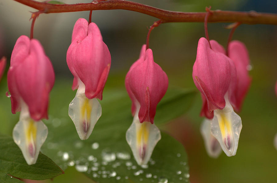 Flora Photograph - Bleeding Hearts by Scott Gould