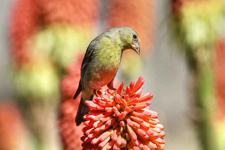 Finch Photograph - Blending In by Donna Kennedy