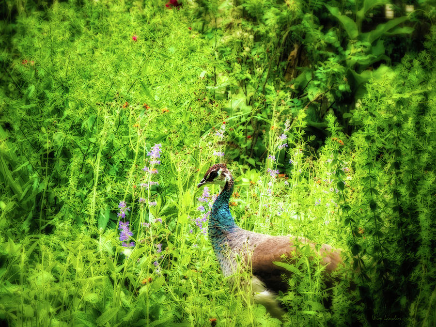 Peacock Photograph - Blending In by Wim Lanclus