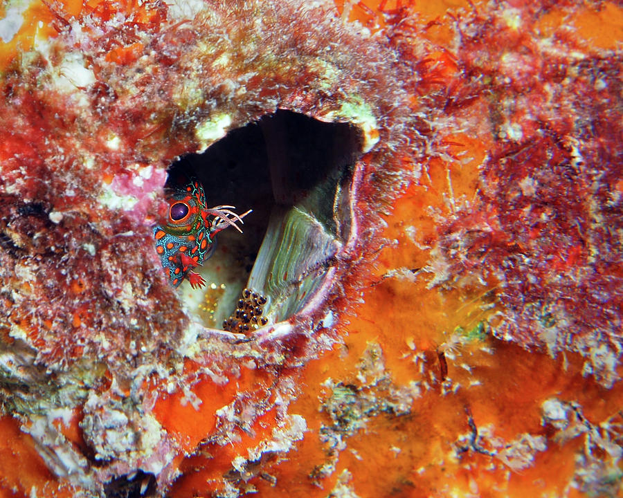 Tesselated Blenny with Eggs by Pauline Walsh Jacobson