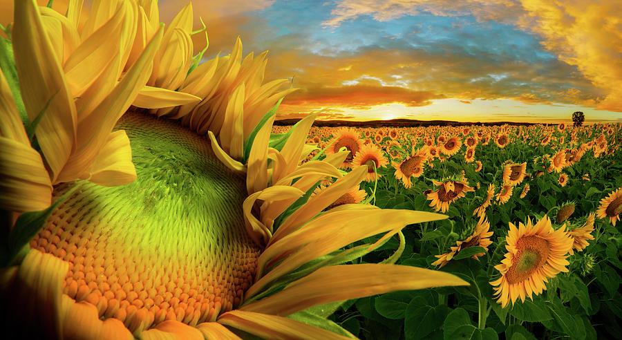 Sunflower Photograph - Bliss by Adrian Borda
