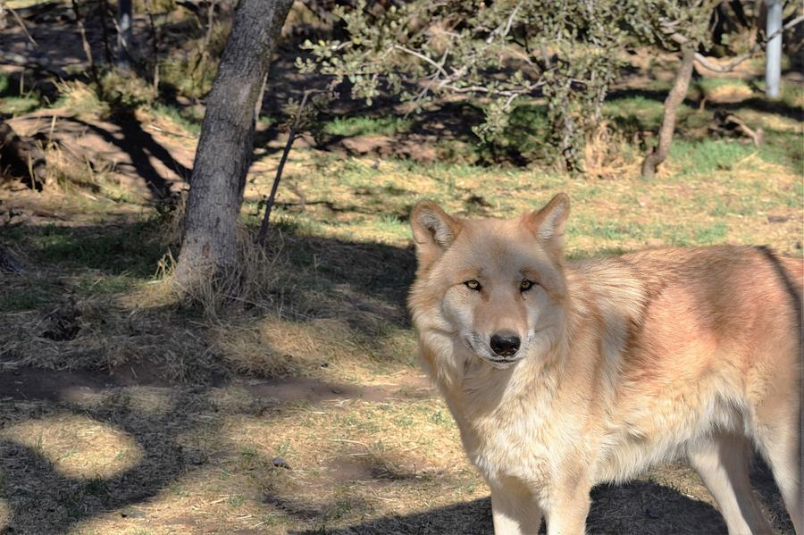 Wolf Photograph - Blonde Wolf by Steve Scheunemann