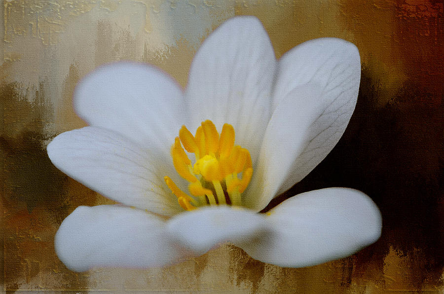 Spring Photograph - Bloodroot by Diana Boyd