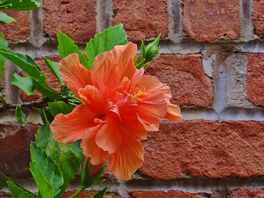Hibiscus Photograph - Bloom And Bricks by Linda McAlpine