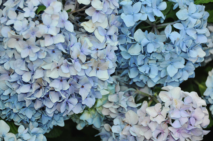 Hydrangea Photograph - Bloom Cluster by JAMART Photography