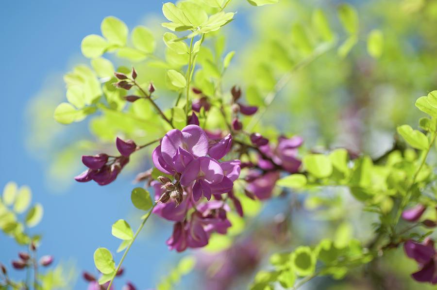 Bloom Of Purple Acacia Tree Photograph By Jenny Rainbow