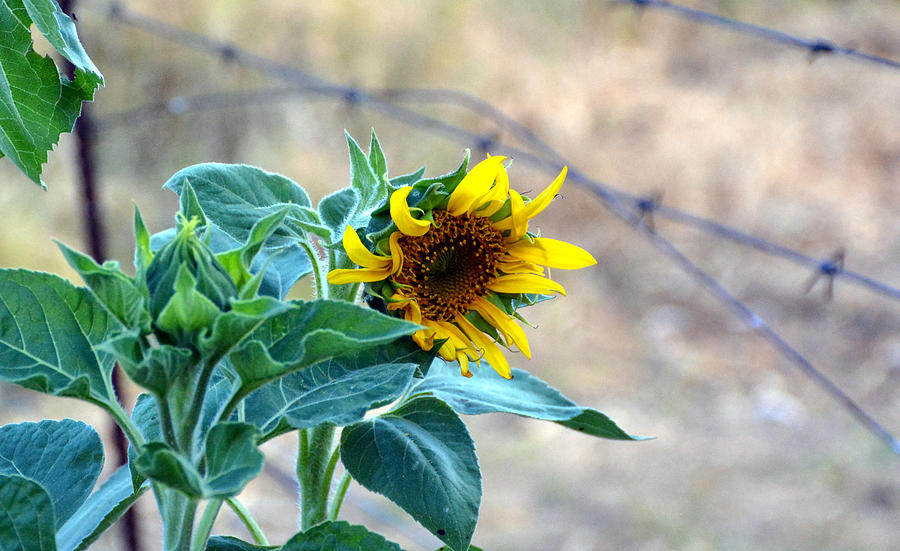 Sunflower Photograph - Bloom Where You Are Planted by Janet Bester