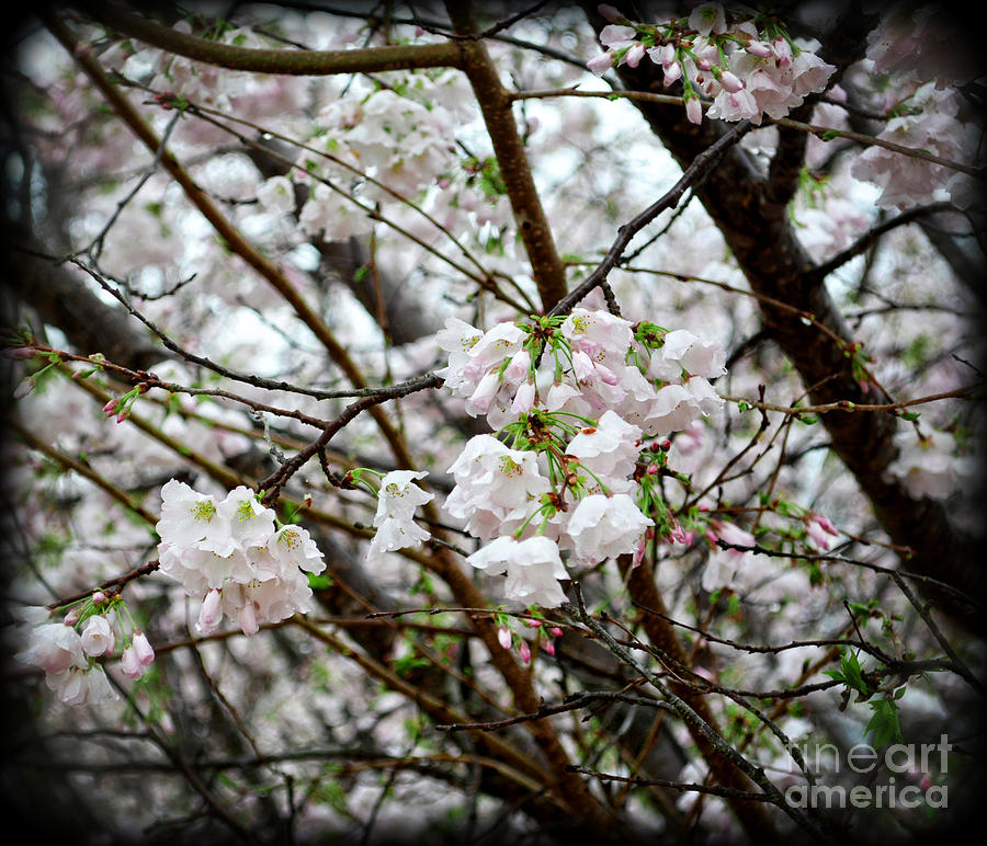 Botanical Photograph - Blooming Apple Blossoms by Eva Thomas