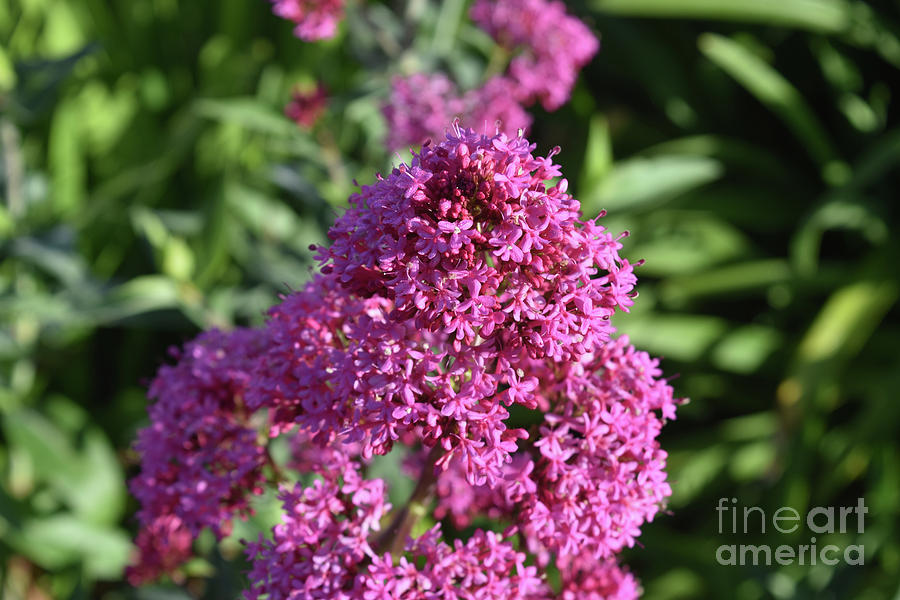 Phlox Photograph - Blooming Brilliant Pink Phlox Flowers In A Garden by DejaVu Designs