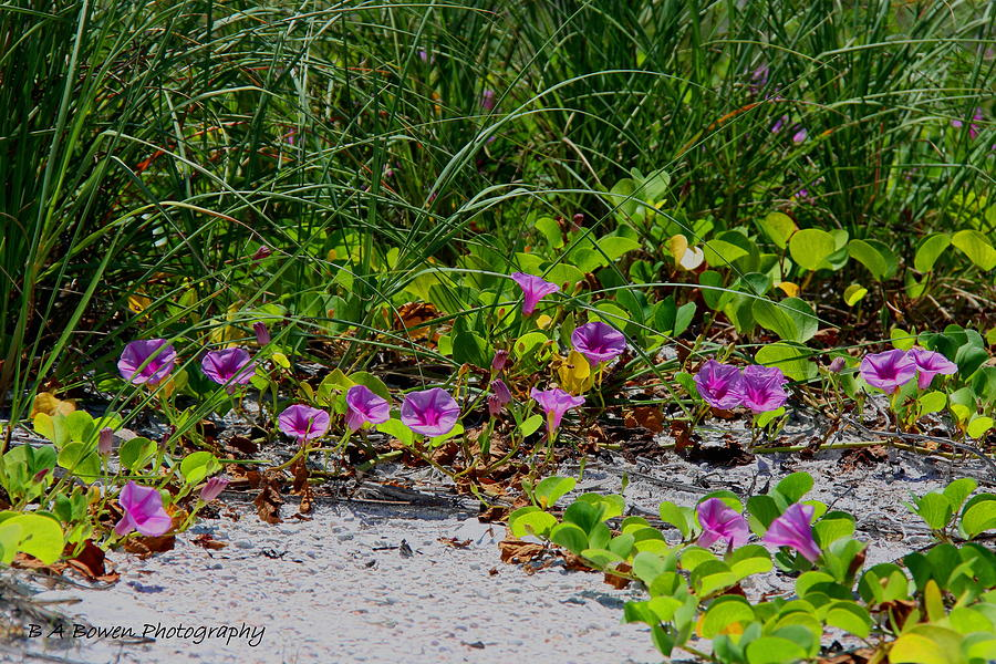 Wildflowers Photograph - Blooming Cross Vines Along The Beach by Barbara Bowen