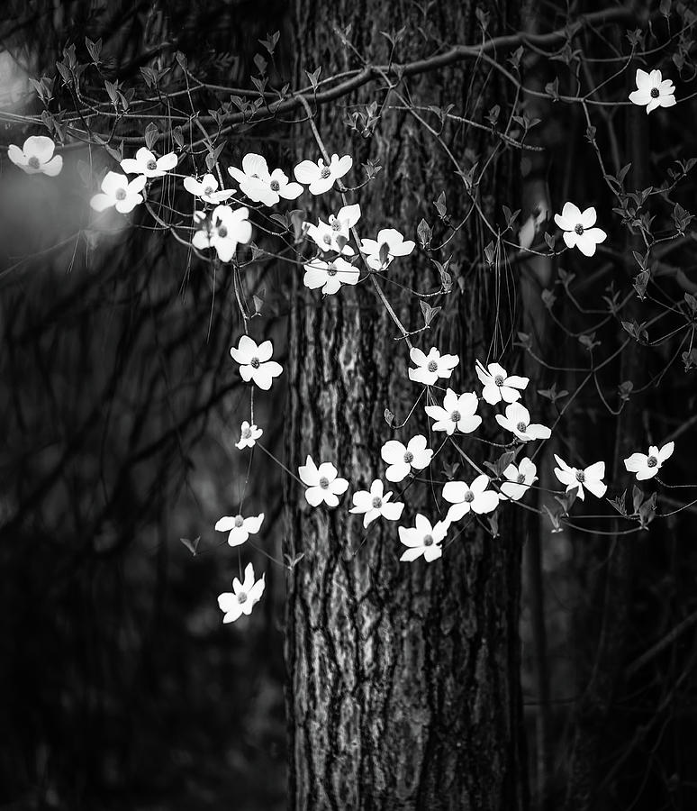 Yosemite Photograph - Blooming Dogwoods in Yosemite Black and White by Larry Marshall