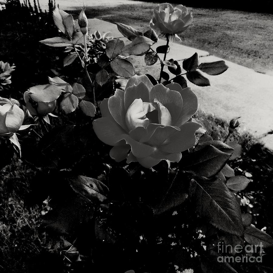 Blooming Flower In Black And White Photograph
