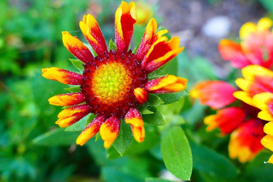 Flower Photograph - Blooming Gaillardia by Debbie Storie