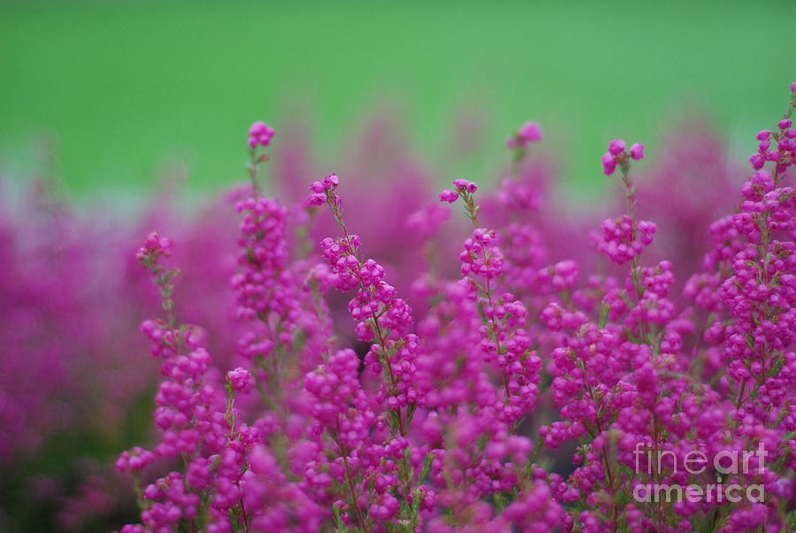 Blooming Heather Photograph