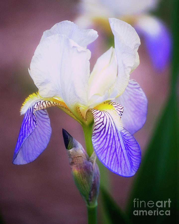 Iris Photograph - Blooming Iris by Shawn Bamberg