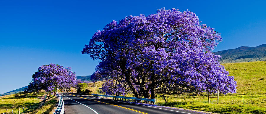 Blooming Jacaranda Trees Along The Highway Photograph by ...