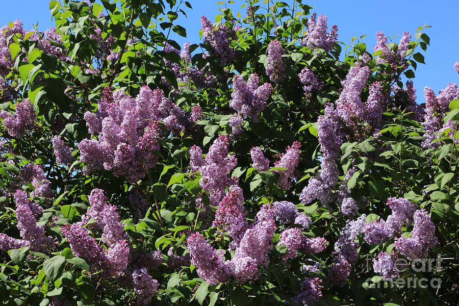 Blooming Lilacs Photograph