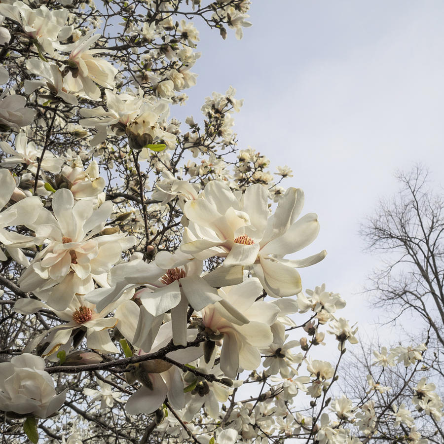 Blooming Magnolia Stellata Star Magnolia Tree Photograph By