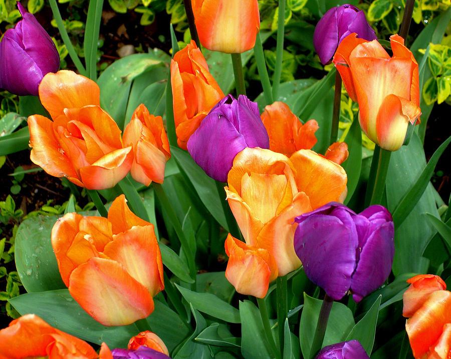 Tulips Photograph - Blooming Multitude by Lynda Lehmann