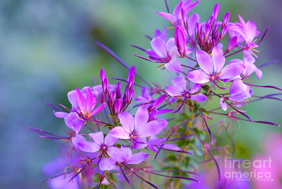 Flower Photograph - Blooming Phlox by Alana Ranney