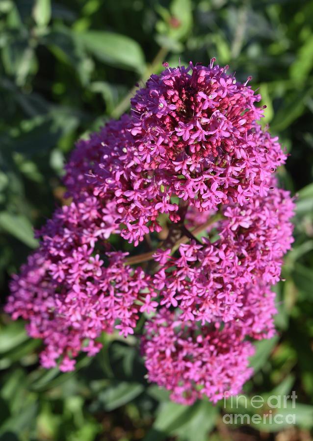 Phlox Photograph - Blooming Pink Phlox Flowers In A Spring Garden by DejaVu Designs