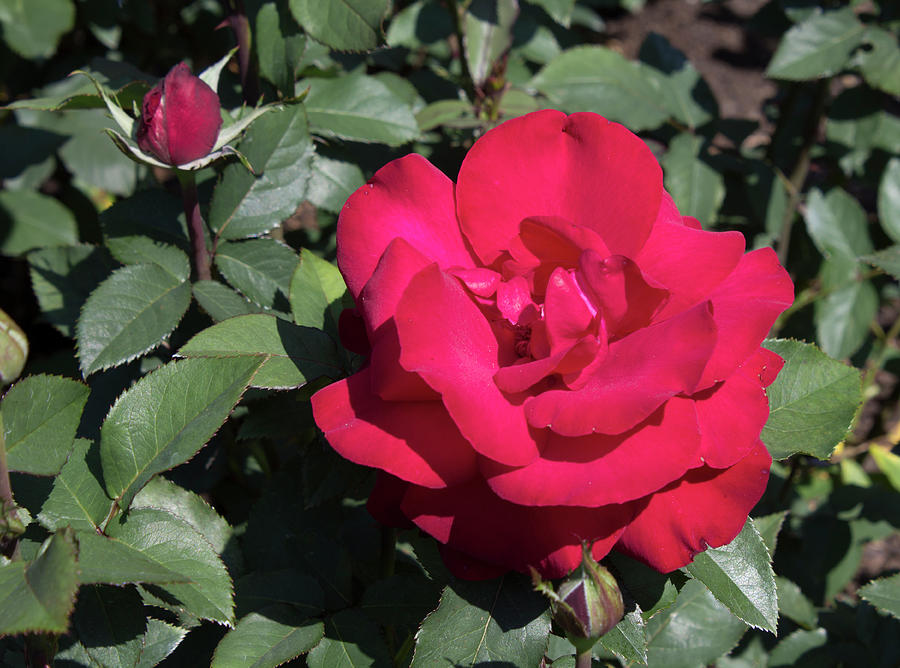 Rose Photograph - Blooming Rose With New Rose In Garden by LaMont Johnson