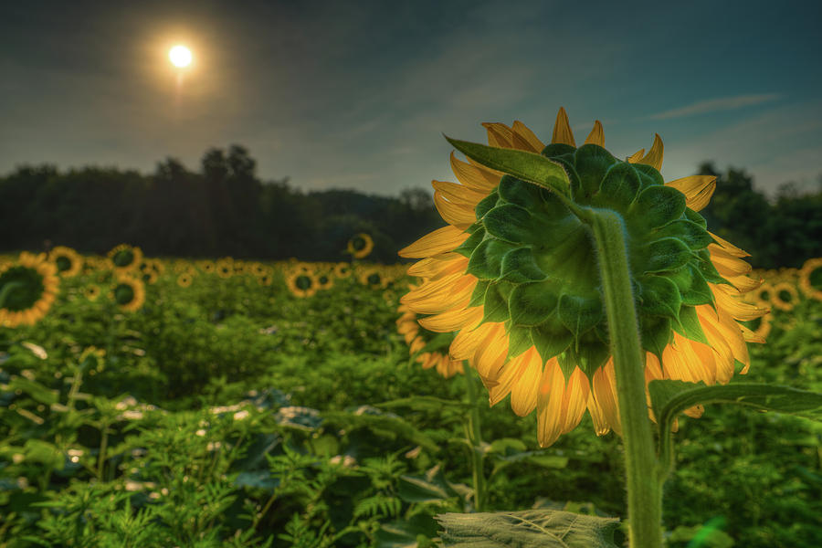 Blooming Sunflower facing Rising Sun by Dennis Dame