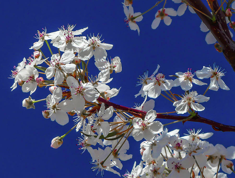 Blooming Tree Against a Blue Sky by Richard Cheski