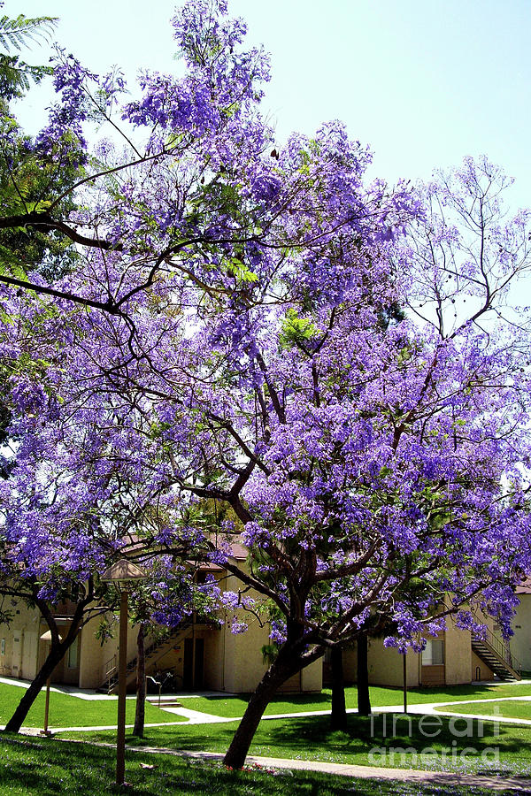 Blooming Tree With Purple Flowers Photograph By Mariola Bitner