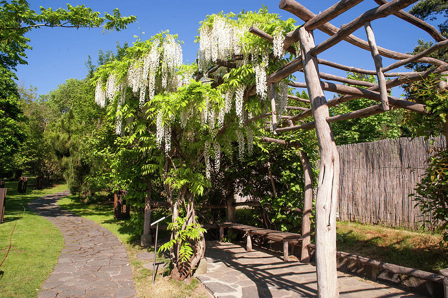 Blooming White Wisteria In Japanese Garden Photograph By Jenny Rainbow
