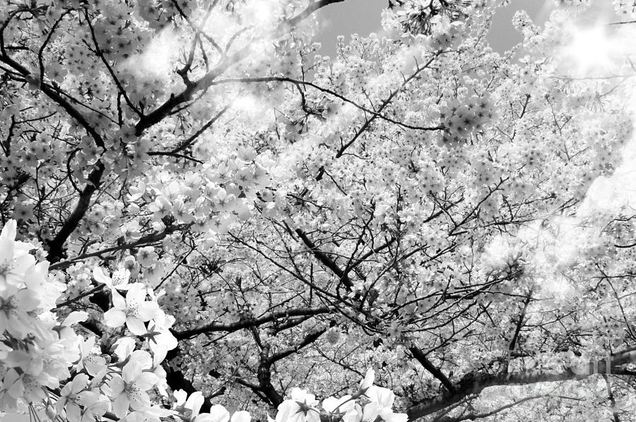 Cherry Blossom Photograph - Blossom Black and White by Stefano Senise