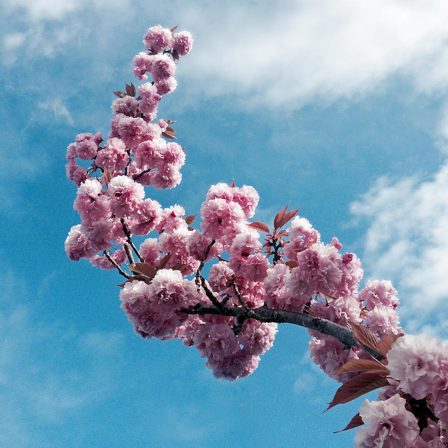 Blossom Impressions by Gwyn Newcombe