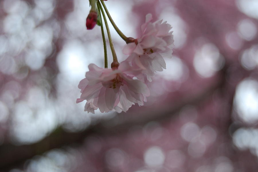 Nature Photograph - Blossom In Pink by Peter  McIntosh