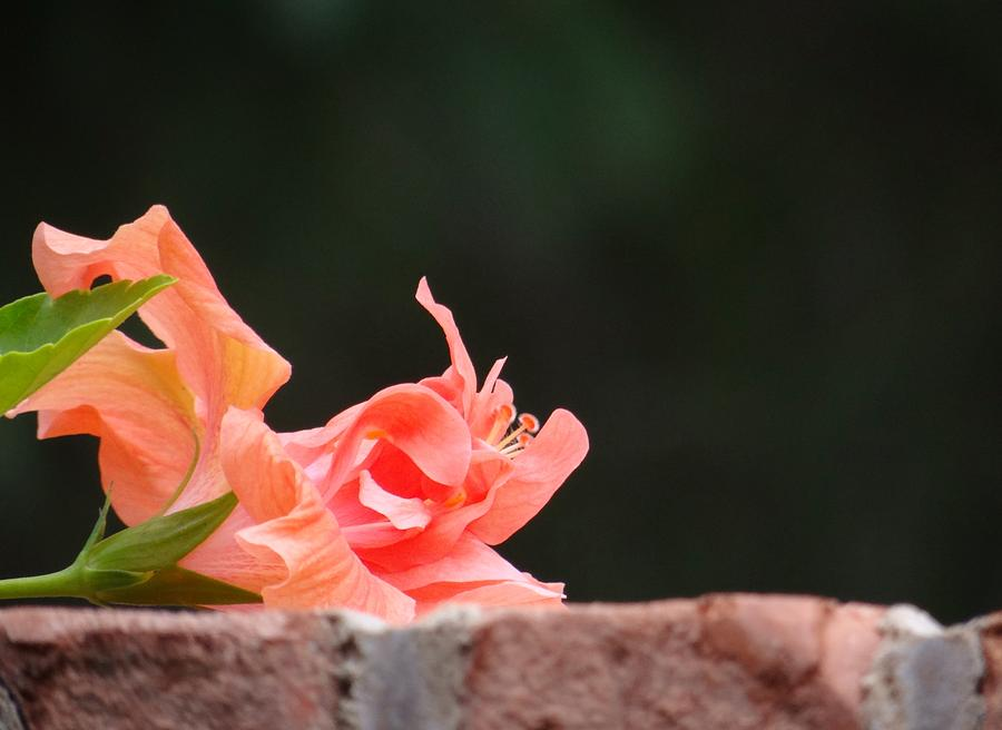 Hibiscus Photograph - Blossom In Repose by Linda McAlpine
