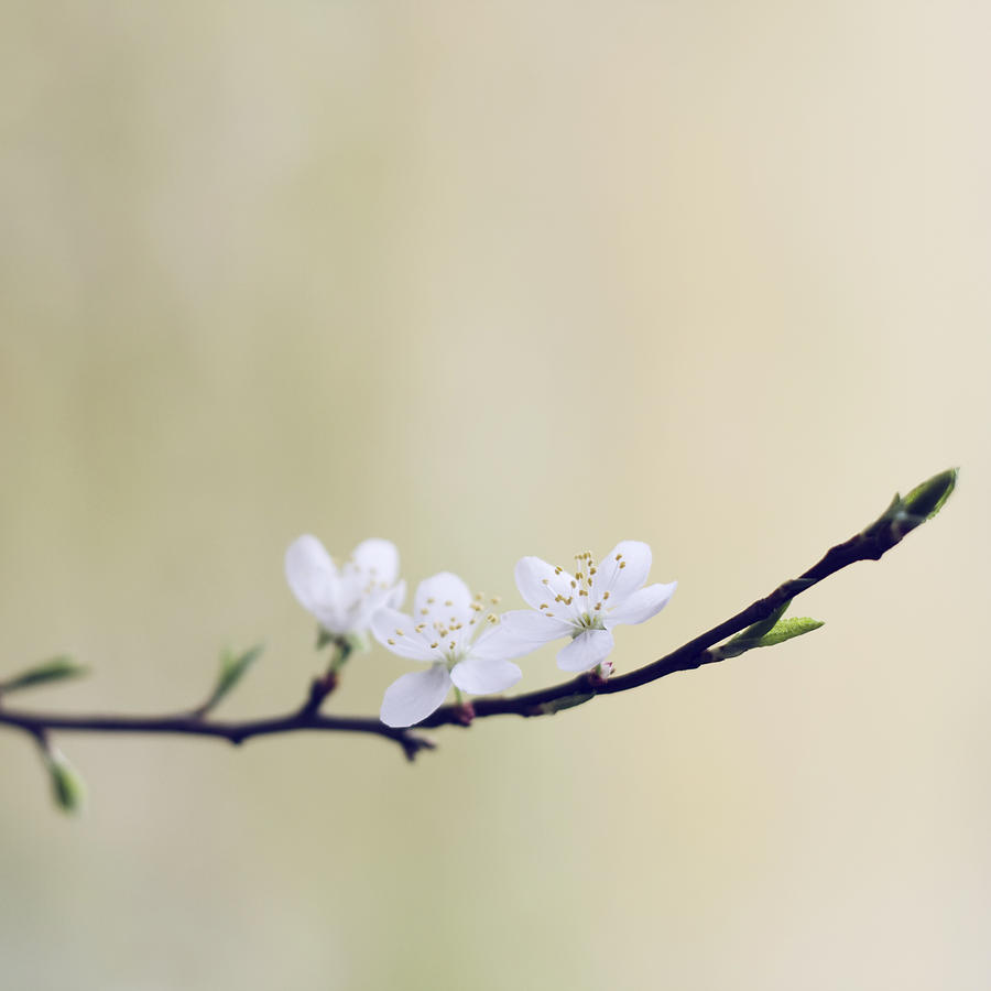White Photograph - Blossom by Laura Pau