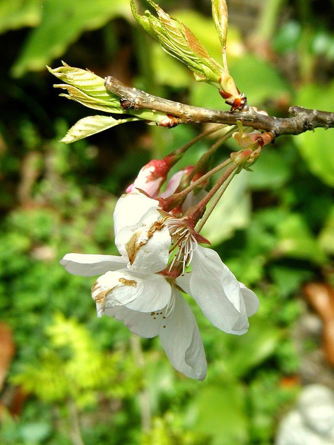 Blossom Photograph - Blossom by Mark Stevenson