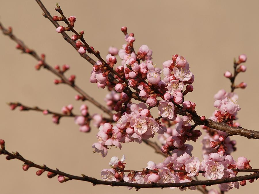 Peach Tree Photograph - Blossoming In Pink by Polonca Supej
