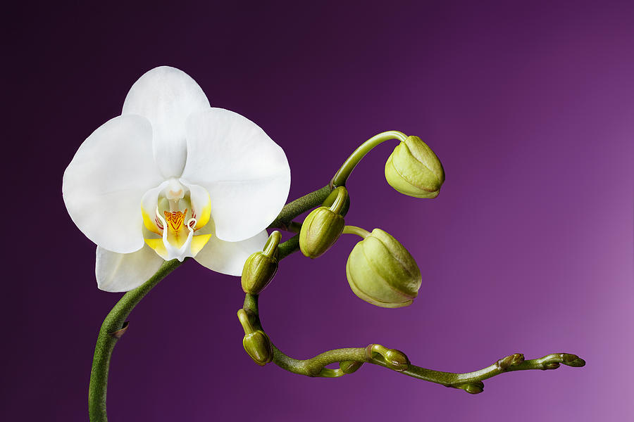 Petal Photograph - Blossoming White Orchid on Purple Background by Sergey Taran