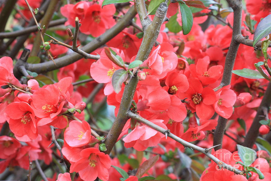 Flowering Quince Photograph - Blossoms Branches And Thorns by Carol Groenen