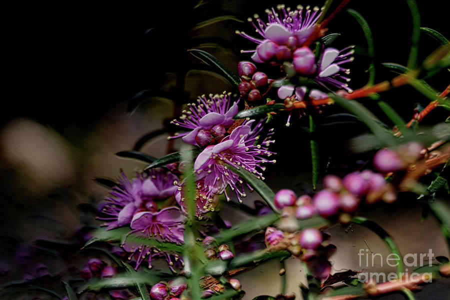 Kings Park Photograph - Blossoms by Cassandra Buckley