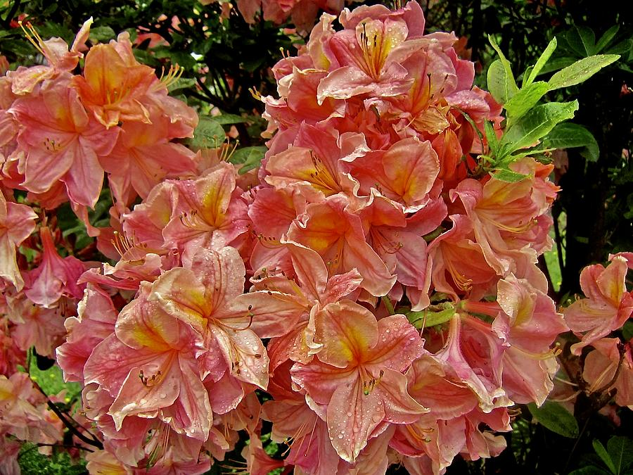 Blossoms Photograph - Blossoms In A Summer Shower by Elizabeth Tillar