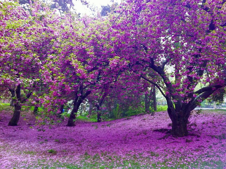 Blossoms in Central Park by Cherylene Henderson