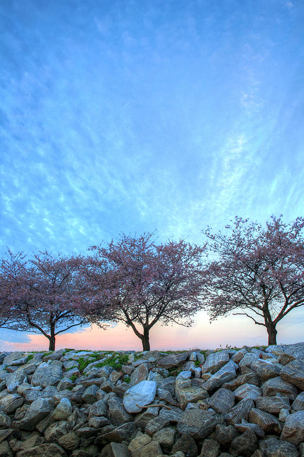 Cherry Blossoms Blossom Washington Dc Potomac River Sunrise Sunset Joint Base Anacostia Bolling Afb Alexandria Va Virginia Photograph - Blossoms by JC Findley