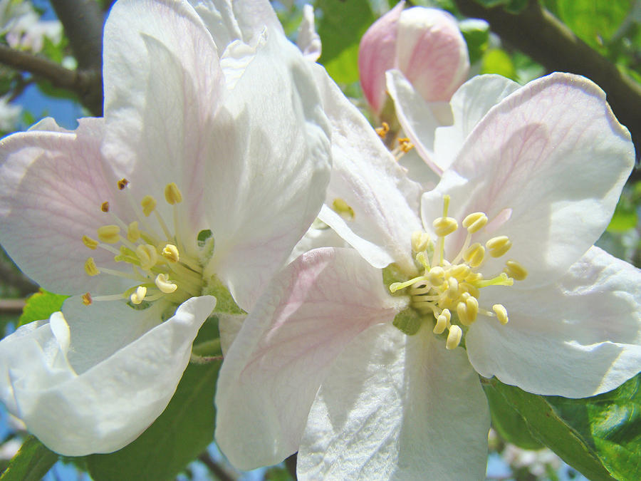 Blossom Photograph - Blossoms Spring Apple Tree Art Prints Baslee Troutman by Baslee Troutman