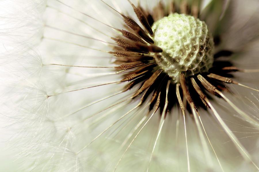 blowball photograph by bob daalder