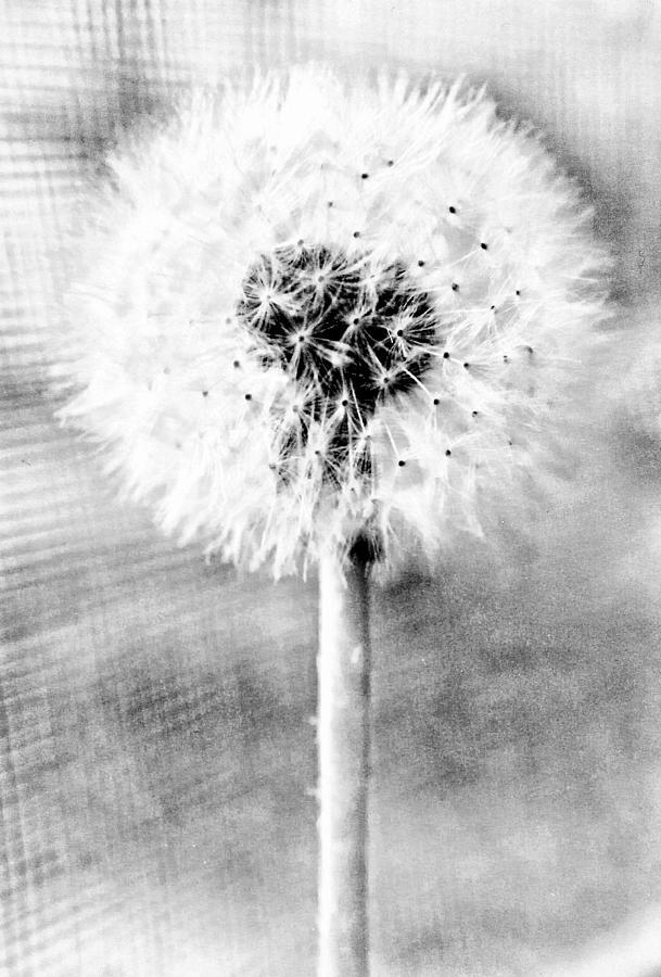 Dandelion Digital Art - Blowing In The Wind Pencil Effect by Robert Grubbs