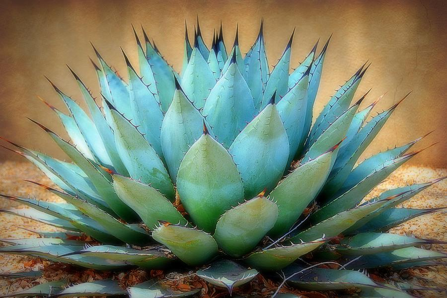 Blue American Agave Plants for Sale – FastGrowingTrees.com |Blue Agave Plant