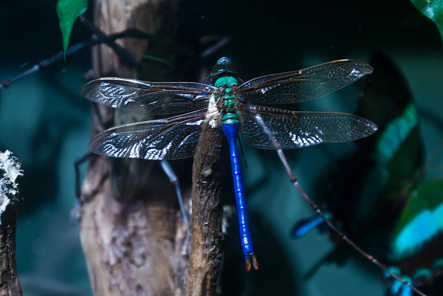 Blue Photograph - Blue And Green Dragonfly by Douglas Barnett