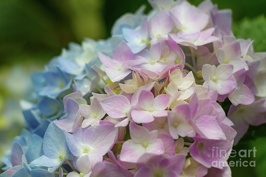 Blue And Pink Hydrangeas Photograph