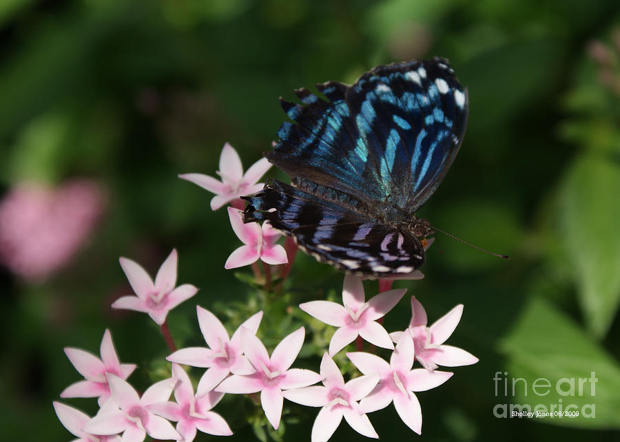 Butterfly Photograph - Blue And Pink Make Lilac by Shelley Jones